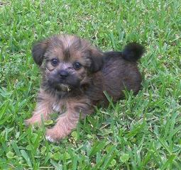 Teacup Yorkie/Chih Pups! - Dog Breeders