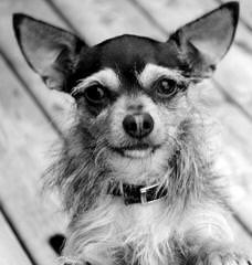 Male Chorkies - Dog Breeders