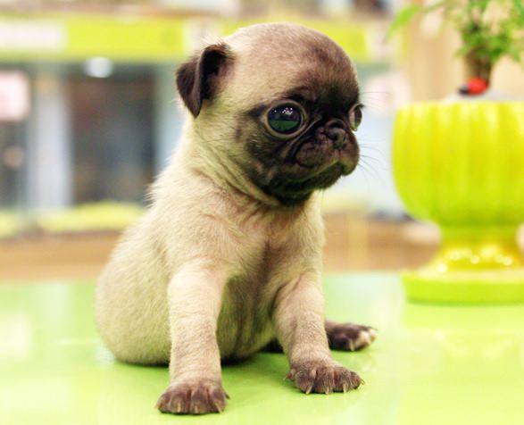 Chug Dogs and Puppies