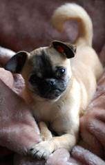 Chug Also Called Pugwawa - Dog Breeders