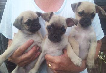 Two Beautiful Chug Puppies - Dog Breeders