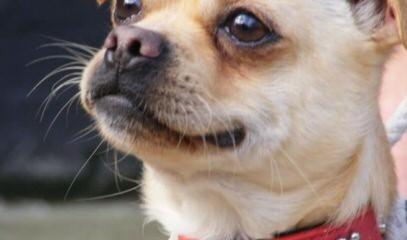 Chugs in Illinois - Dog Breeders
