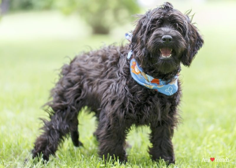 Cockapoo Dogs and Puppies