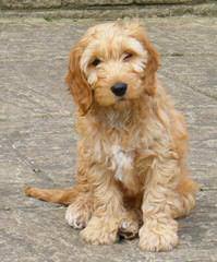 Darby Park Doodles- Labradoodles & Cockapoos Available - Dog Breeders
