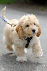 Mateer Labradors - Dog Breeders