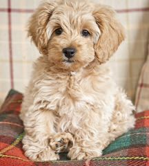 Multi Gen Labradoodles - Dog Breeders