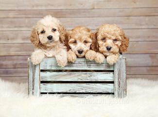 Cockapoo Puppies/First Generation/Lifetime Guar. - Dog Breeders