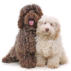 Weshi Puppies For Sale - Dog Breeders