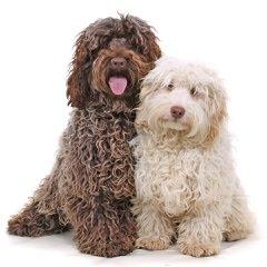 MoonShine Babies Cockapoos - Dog Breeders