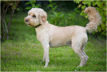 Dogwoods Doodles Of New Hampshire Beautiful Labradoodles, Goldendoodles, Cockapoos Family Ra - Dog Breeders