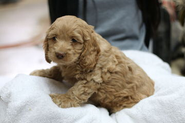 Cockabichon And Mini Dachshunds Available! 515-341-4909 - Dog Breeders
