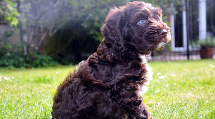 Darby Park Doodles- Labradoodles & Cockapoos Available - Dog Breeders