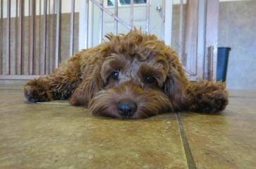 Rockridge Kennel - Dog Breeders