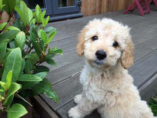 Stew's Poos – California's Cuddliest Cockapoos - Dog Breeders