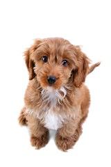 Barmor Kennels Cockapoo - Dog Breeders
