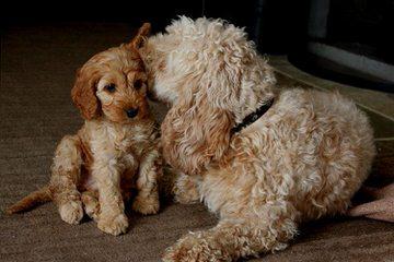 Cockapoo Puppies Ready Now! - Dog Breeders
