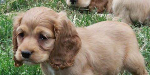 Carolina Cockapoos - Dog Breeders