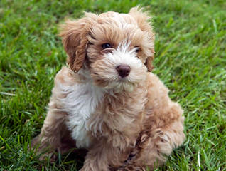 Dogwoods Doodles Of New Hampshire Goldendoodles, Labradoodles & Cockapoos Raised W/Children - Dog Breeders