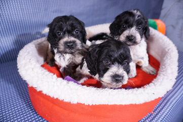 Commodari's Cockapoo breeder's - Dog Breeders