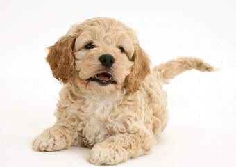 North Country Kennels – We Specialize In Mixes! Pekepoos And Cockapoos - Dog Breeders