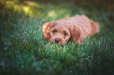 Dogwoods Cockapoo Puppies Of New Hampshire - Dog Breeders