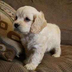 Cockapoo Puppies For Sale / Cockapoo Dog Breeders