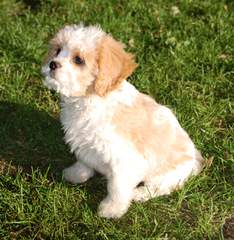 Lhasapoo Puppies In New Hampshire - Dog Breeders