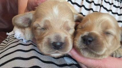 Sherry's Cockapoos - Dog Breeders