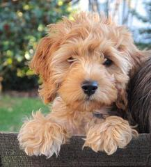 Cockapoo Pups – Ready For Loving Homes - Dog Breeders