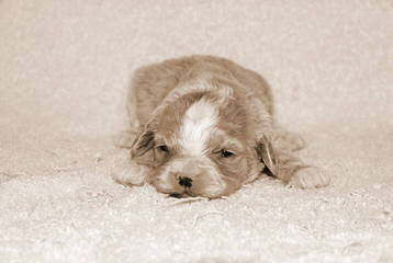 Sugar and Spice Cockapoos - Dog Breeders