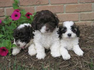 Cuddlespice Cockapoos - Dog Breeders
