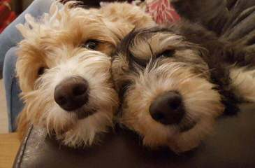 Denning Farms Iowa - Dog Breeders