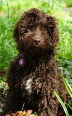 Cockapoo Puppies - Dog Breeders