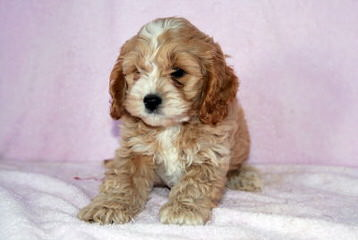 My Chantilly Lace Puppies - Dog Breeders