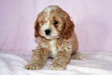 Cockapoo Puppies For Sale Cockapoo Dog Breeders