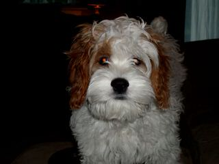 Cockapoos Of Djb Kennels - Dog Breeders
