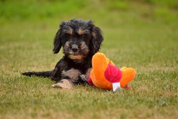 Male Cairn Terrier - Dog Breeders