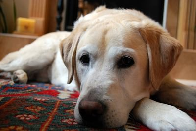 Comfort Retriever Dogs and Puppies