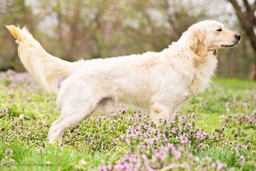 Comfort Retreiver Puppies Ready To Go Now! - Dog Breeders