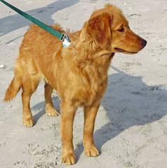 Comfort Retrievers & Miniature Goldens - Dog Breeders