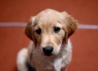 Chatham Hill Kennels Comfort Retriever - Dog Breeders