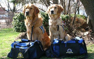 Comfort Retriever Puppies! (Mini Goldens) - Dog Breeders