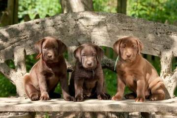 Comfort Retreiver Puppies Ready To Go Now! - Dog Breeders