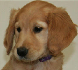 Comfort Retriever (Small Goldens) - Dog Breeders