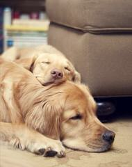 Comfort Retrievers By The Creator Of The Hybrid! - Dog Breeders