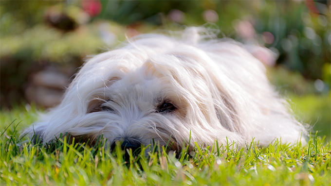 Coton De Tulear Dogs and Puppies