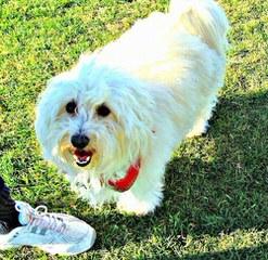 Sunnybrooks Coton de Tulear - Dog Breeders
