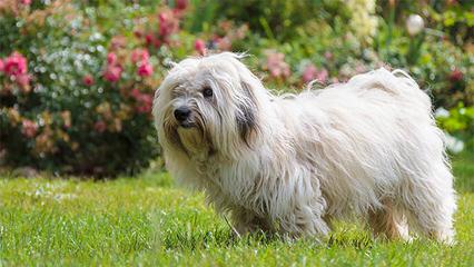 Sandcastle Coton-De-Tulear - Dog Breeders