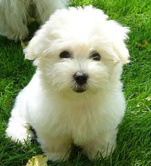 Coton De Tulear/German Shepehreds - Dog Breeders