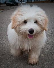 Miki +Nr1 World Coton De Tulear-Woodland.Cottage - Dog Breeders